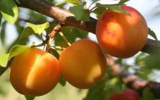 Алыча Злато скифов: описание гибрида, выращивание и уход