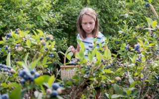 Как я выращиваю голубику на приусадебном участке: что для этого необходимо, как обеспечить голубике правильный уход
