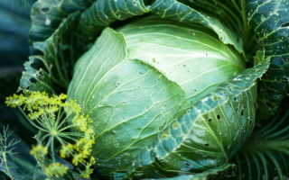 Листья капусты в дырочку — почему и что делать. Помогут эти средства