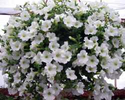 Выращивание петуний в домашних условиях