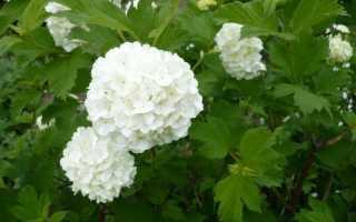 Калина Бульденеж и тля. Как сохранить цветы