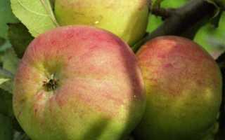 Как вырастить идеальный урожай с сортом яблони Болотовское