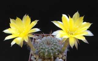 Популярные виды домашних кактусов