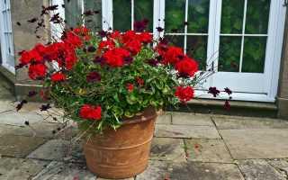 Правила обрезки Пеларгонии для пышного цветения