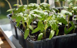 Растим здоровую и сильную рассаду томатов