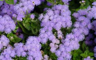 Эти 6 низкорослых цветов украсят цветник не хуже петунии