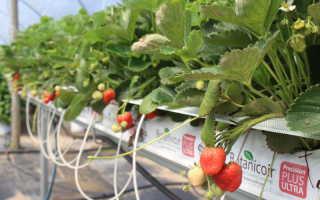 Трубы ПВХ для выращивания клубники: пошаговая инструкция для новичков