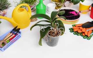 Причины высыхания и выглядывания из горшка корней у орхидей и что с этим можно сделать