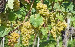 Уход за виноградом: комплексная подкормка и удобрения