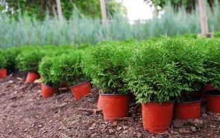 Туя западная (негниючка) и восточная (биота) – что общего в этих растениях. Условия для выращивания