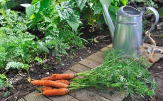 Выращиваем богатый урожай моркови на суглинке