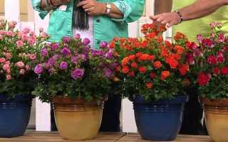Комнатная роза: все о выращивании и уходе