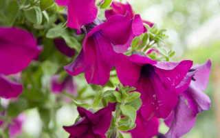 Что нужно знать огороднику о делении петуний?