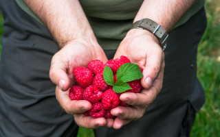 Ремонтантная малина даст небывалый урожай: простые правила ухода