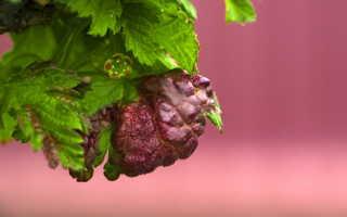 Вздутия на листьях смородины: как это предотвратить