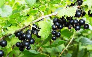Размещение смородины в саду: советы
