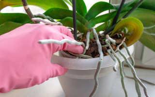 Размножение орхидей: раскрываем секреты простых способов