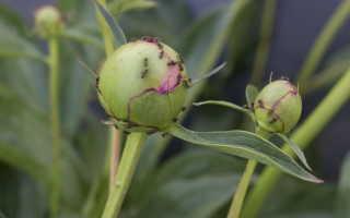Избавляемся от муравьев в огороде: применение пшена