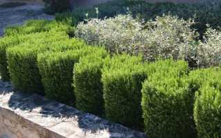 Пряные травы для оформления бордюров — и красиво, и полезно