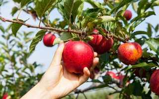 Правильный уход за яблонями: сохранение и увеличение урожая