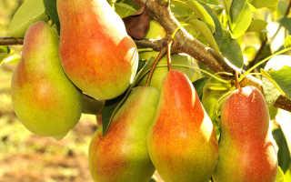 Груша Талгарская красавица: особенности выращивания и уход