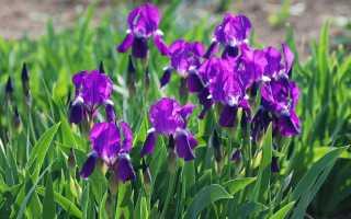 Ирисы в саду: что обязательно знать цветоводу