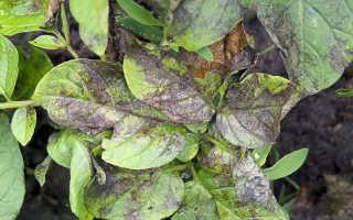 Народные средства и биологические препараты от фитофторы