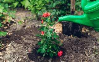 Чем подкормить розы весной, чтобы получить пышное цветение