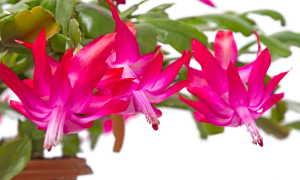 Декабрист и другие растения