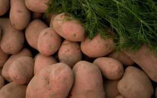 Картофель Вектор: особенности плода белорусской селекции