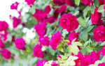 Правильный уход за кустами роз в летнее время