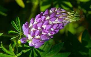 Люпин – спасение для малины