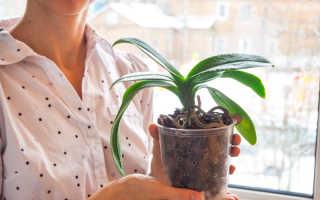 Все о пересадке орхидеи: пошаговая инструкция
