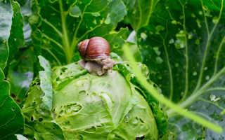 Как избавить капусту от паразитов — народные методы на страже здоровья популярной овощной культуры