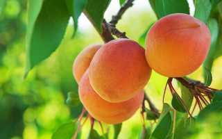 Подготовка абрикоса к зиме: осенний уход