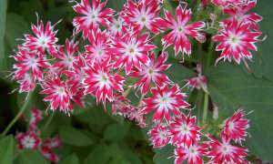 Выращивание флоксов: сорт Мерцающие звезды