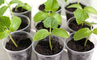 Посев огурцов в стаканчики и высадка в грунт