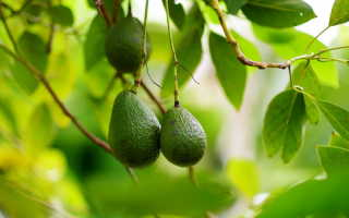 Плоды, из косточек которых легко вырастить экзотическое растение