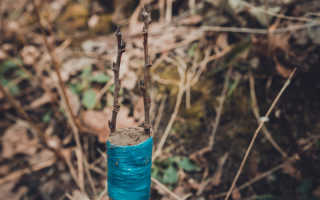 Как привить плодовые деревья зимой. Простые правила для здорового сада и отличного урожая