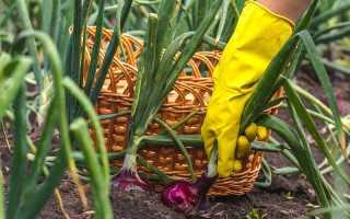Как получить отменный урожай лука