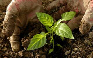 Как правильно посадить горький перец: советы и рекомендации