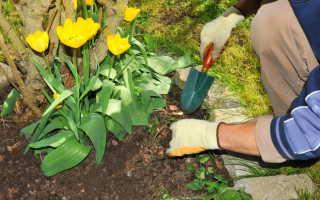 Как подкормить луковичные цветы весной