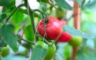 Вносим дополнительную подкормку для томатов
