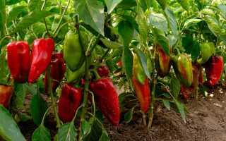 Тонкости выращивания рассады перца и баклажанов