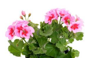 Особенности осенней пересадки герани для ее обильного и длительного цветения в следующем году