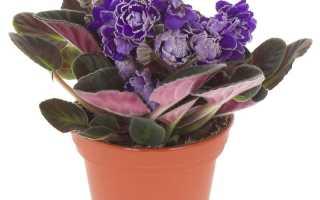Сенполия (узамбарская фиалка): способы выращивания из листочка в домашних условиях