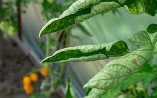 Основные причины скручивания листьев у томатов