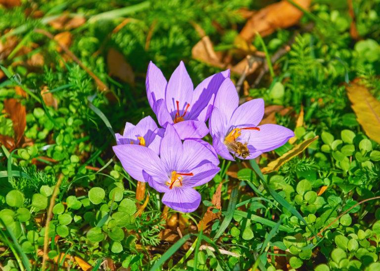 семена цветов шафрана