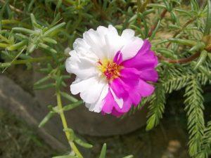 Огородный портулак. Выращивание и полезные свойства