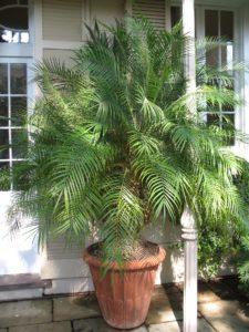 Финиковая пальма в домашних условиях из косточки (25 фото): выращивание и уход, как вырастить растение, как выращивать дерево